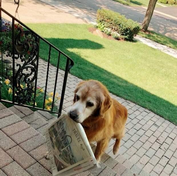 11. Это Коди. У него артрит, но он все равно каждое утро приносит газету. Он относится к этому очень серьезно и ничто его не остановит! 13/10 животные, оценка, популярный, собака, собаки, соцсети, твиттер, юмор