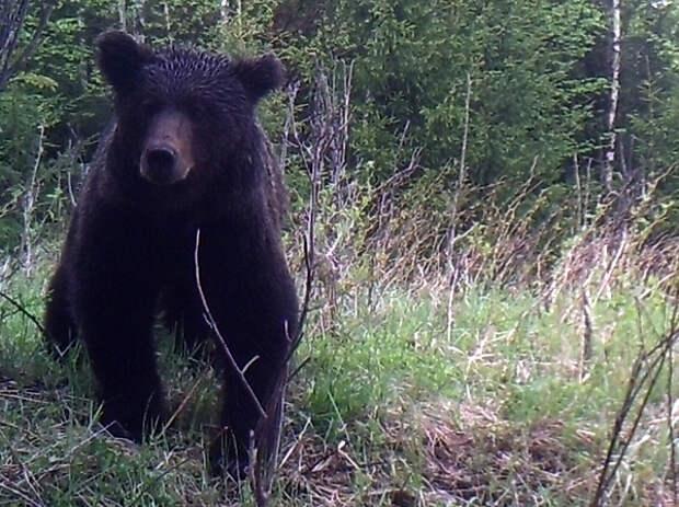 Застрелили медведя в вольере