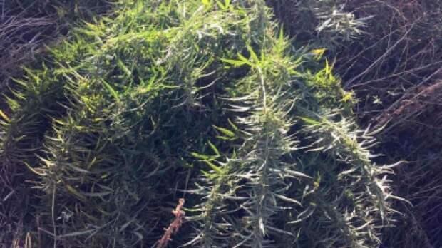 У пожилого крымчанина изъяли несколько килограммов наркотиков
