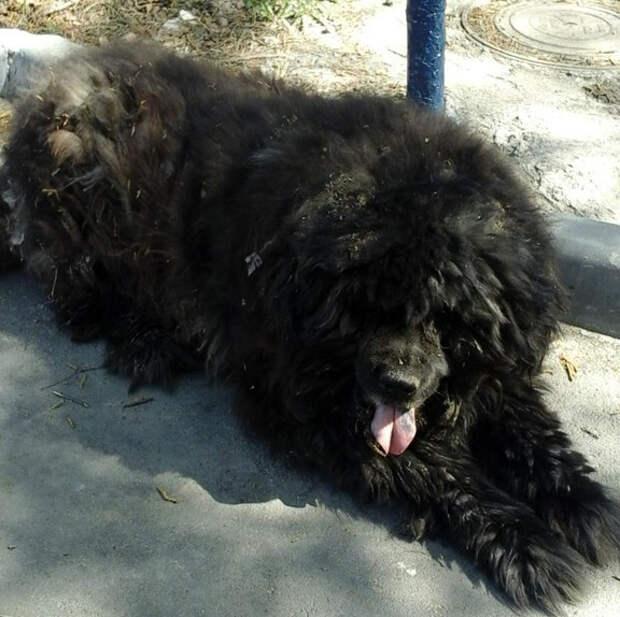 Гигантский пес был в настолько запущенном состоянии, что едва мог ходить