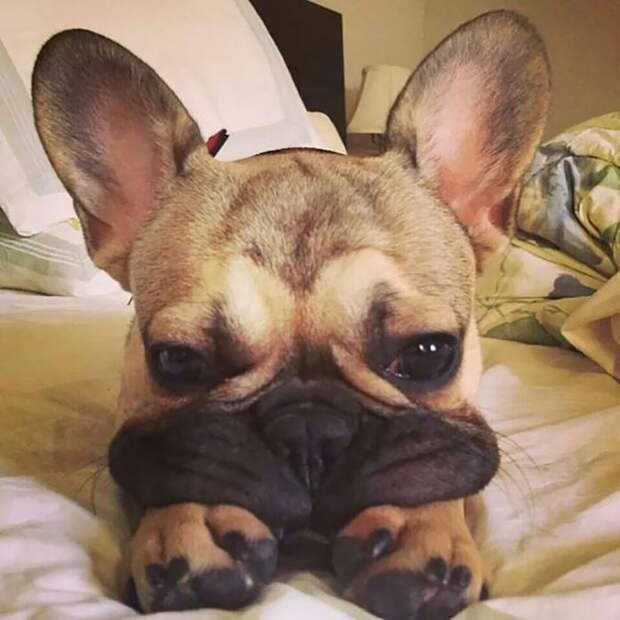 Собачьи щечки, перед которыми невозможно устоять!
