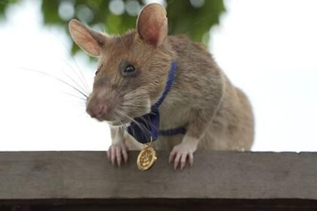 Камбоджийскую крысу наградили золотой медалью за храбрость