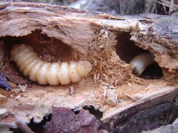 Вредители древесины в загородном доме. Как с ними бороться?