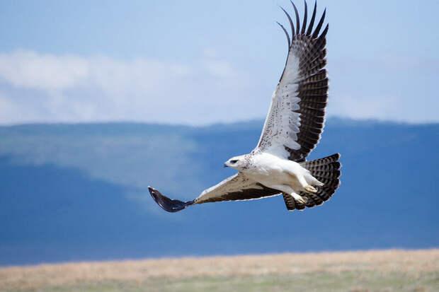Молодой боевой орел в полете. Фото Alex Berger (flickr.com)