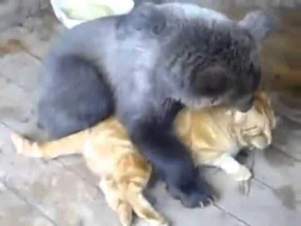 Воспитание медведя, дело не из легких. Кот держит медведя в строгости.