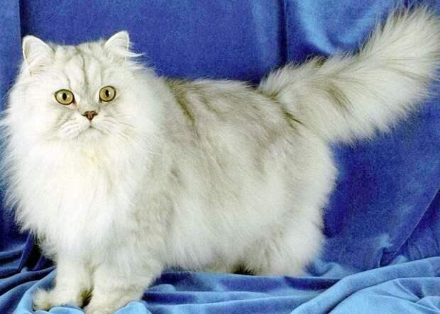 Очаровательные белые кошки с голубыми глазами: выбираем породу — 4 Лапки