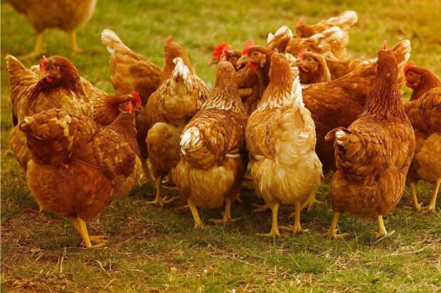 Китай выкупил годовой запас куриных субпродуктов Крыма
