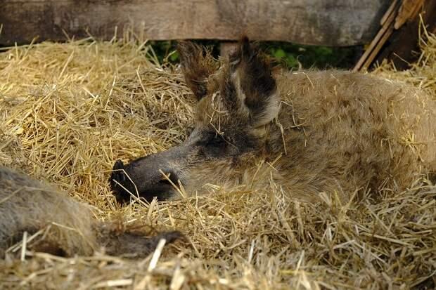 Мангалица, или кудрявая свинья