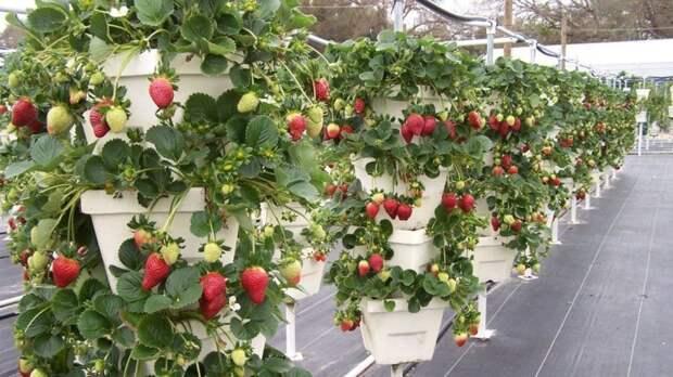 А таким образом можно посадить в одной теплице разные сорта дача, клубника, на заметку, огород, сбор урожая, фото