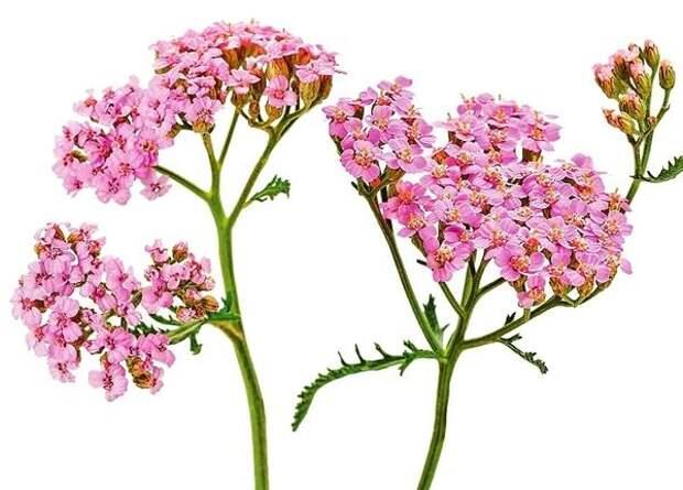 Каждые 3-4 года растения нужно делить