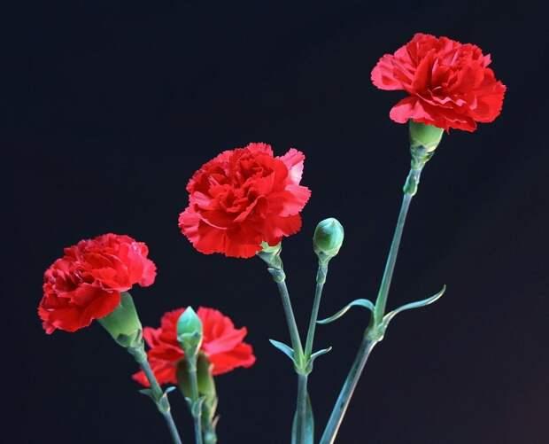 Красные гвоздики. Фото: pixabay.com