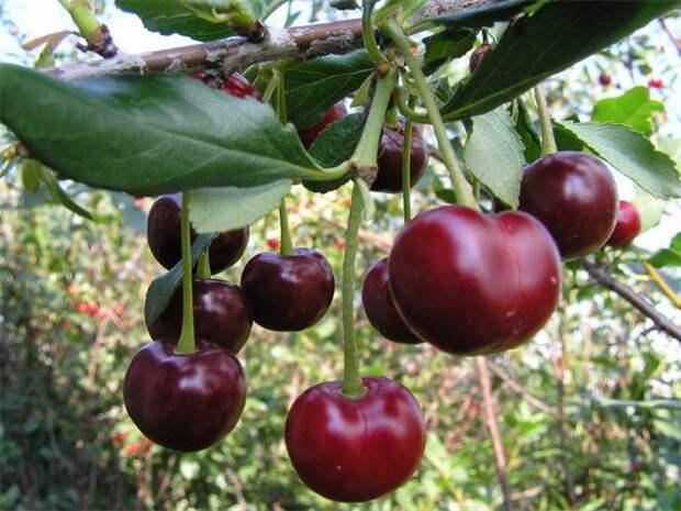 Самые надежные вишни