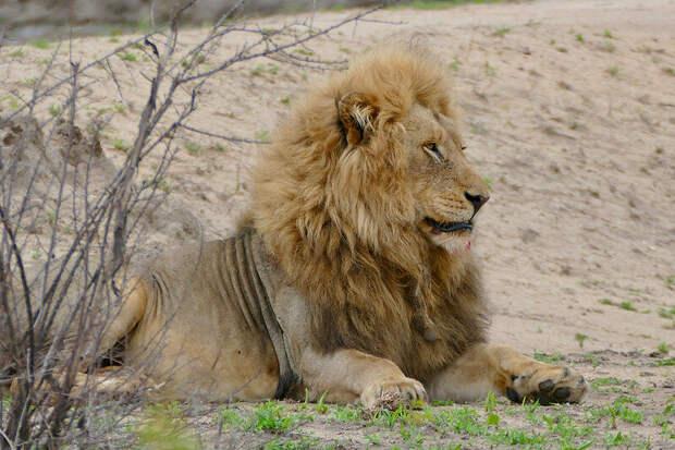 Африканский лев. Фото Bernard DUPONT (flickr.com)