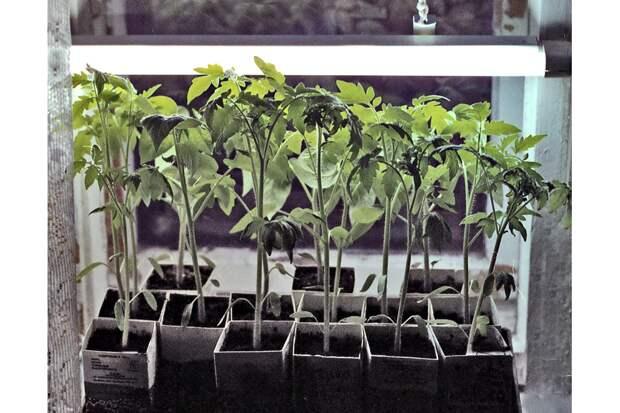 В чем лучше всего выращивать рассаду? Секреты для дачников