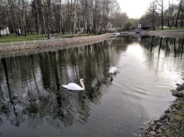 Ромео и Джульетта вернулись в пруд Лианозовского парка