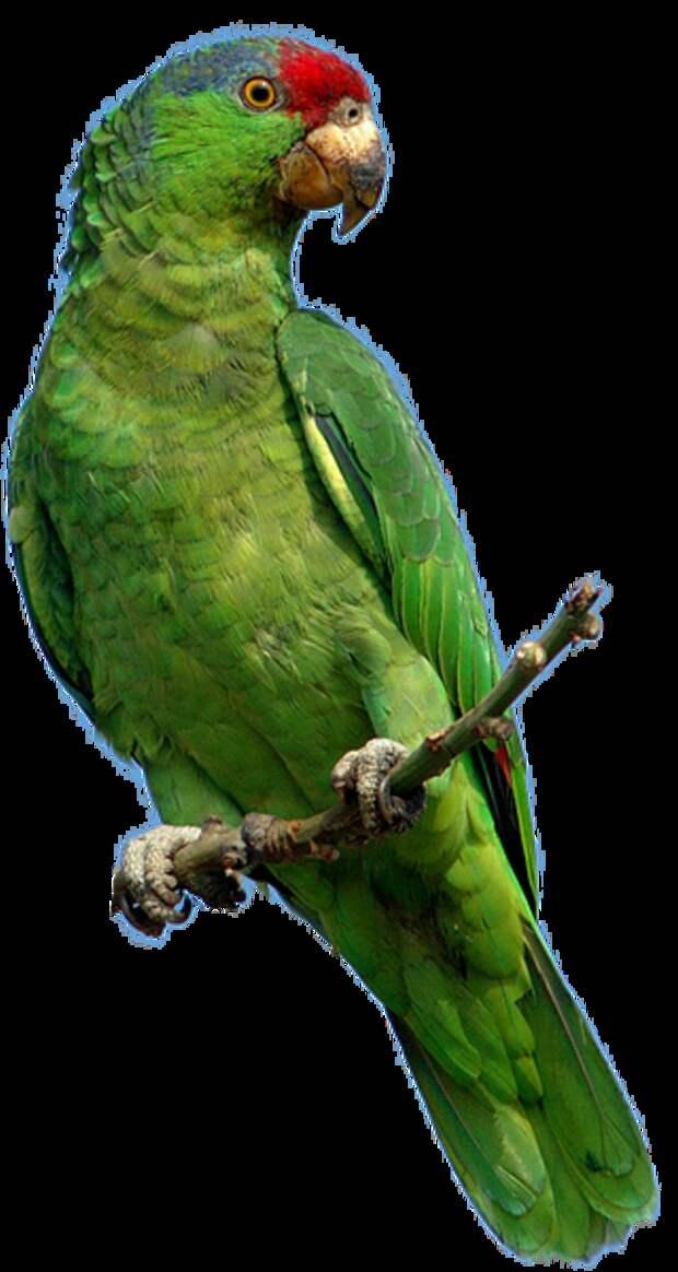 Попугай Лорика  поёт и  говорит