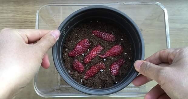 Простейший способ превратить семена клубники в плодоносящий куст