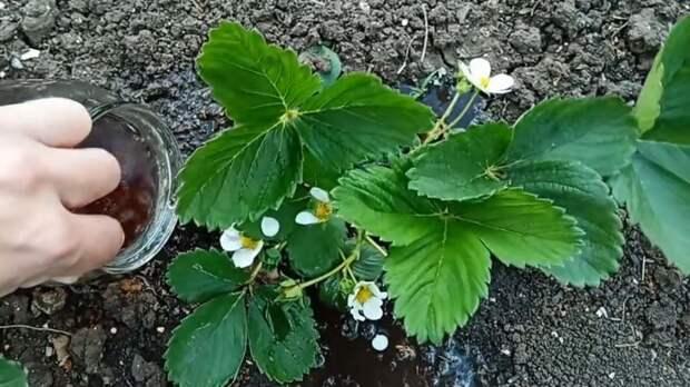 Полезные советы садоводов: простое удобрение для клубники в мае и вы будете с крупными сладкими ягодами