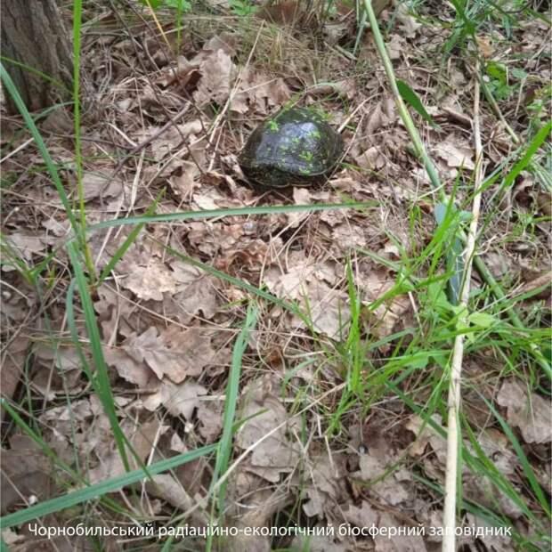 В Чернобыльском заповеднике показали фото единственной пресноводной черепахи, живущей в зоне отчуждения
