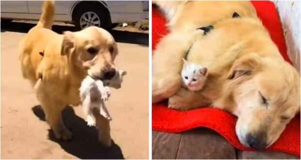 Золотистый ретривер спас котенка, он притащил его домой и стал о нем заботиться