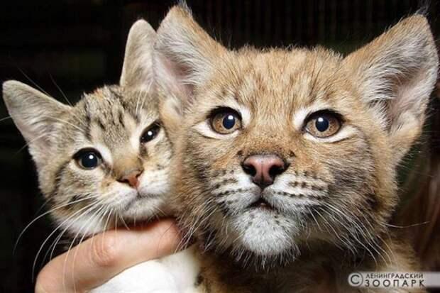 Дикая рысь и обычная кошка выросли вместе и по сей день неразлучны