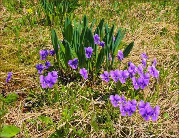 Черемша - трава, которая исцеляет (народные рецепты)