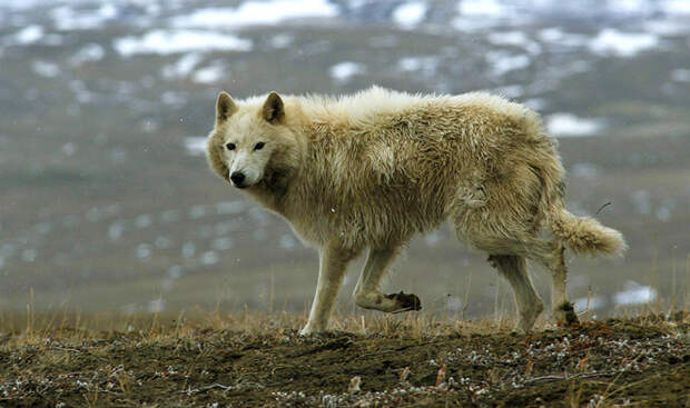 Животные тундры: Полярный волк