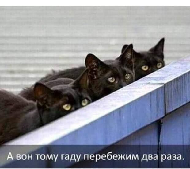 Возможно, это изображение (кот и текст «A вон тому гаду перебежим два раза.»)