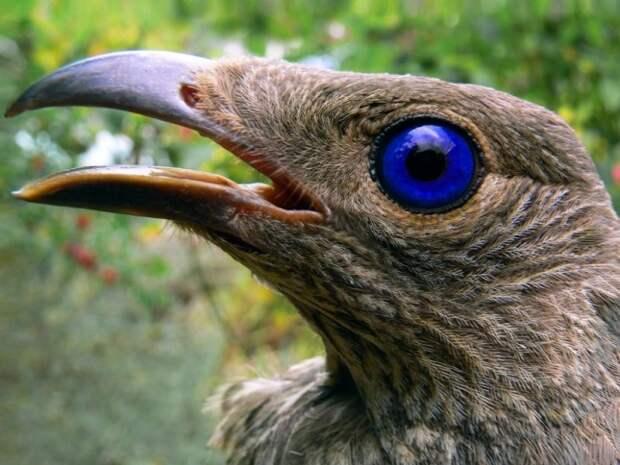 шалашниковые птицы