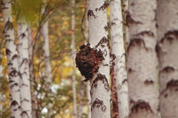 Чтобы вырастить один штамм гриба, понадобится 5 лет и 20 тысяч берез / Фото: rusfito.com