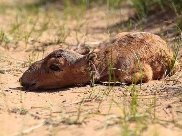 Численность сайгаков в Казахстане выросла в 2,5 раза за 2 года
