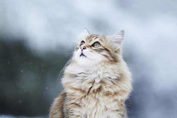 10 самых дорогих кошек мира