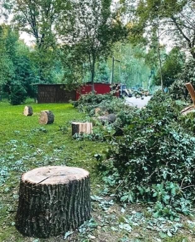 В Лианозовском парке срубили 180-летний дуб