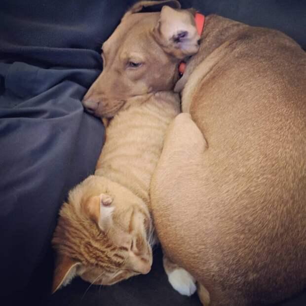 Кот Кельвин и собака Джоуль любят спать вместе, свернувшись калачиком, когда хозяева не видят видео, домашний питомец, животные, кот, милота, собака