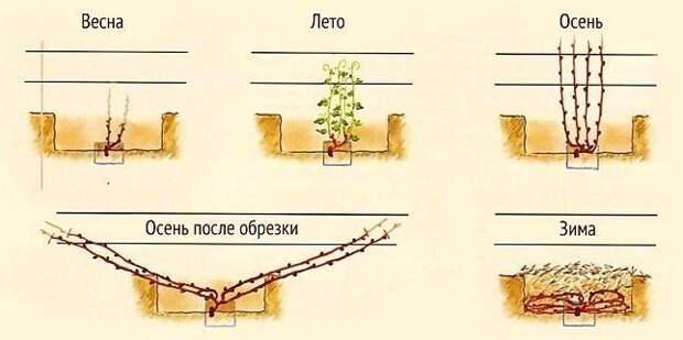 Формируем виноград