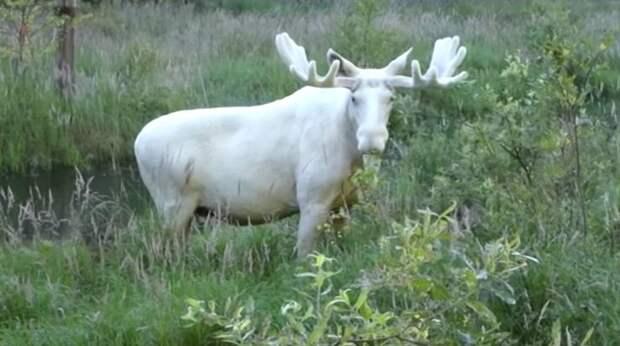 В Швеции сняли на видео переходившего ручей белого лося