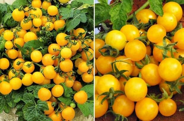Моя любимая любовь-ТОМАТЫ))) Суперранние, неприхотливые и урожайные сорта для подоконников, балконов и