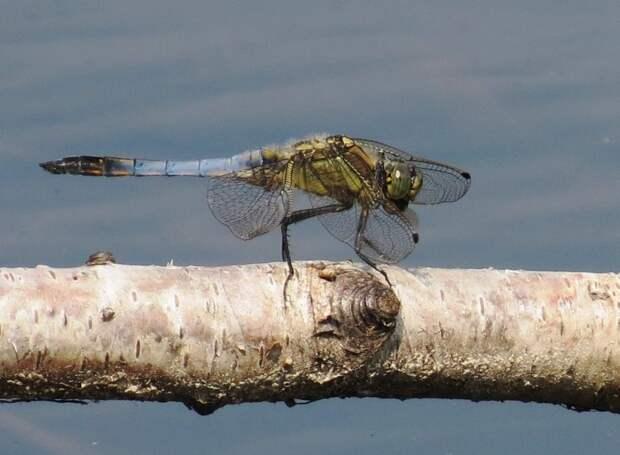 Дальность охотничьих вылетов насекомого может составлять до четырех километров/ГПБУ «Мосприрода»