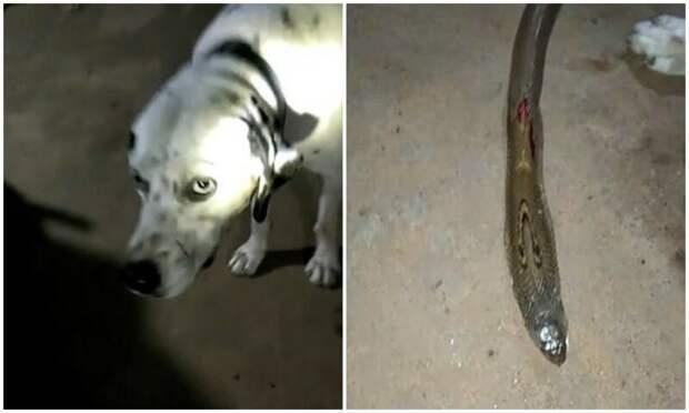 Храбрый далматинец погиб, защищая хозяев от ядовитой кобры верность, видео, грустно, животные, змеи, история, собака, собаки
