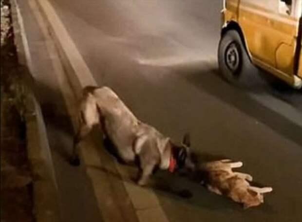 Собака старалась оказать помощь сбитой автомобилем кошке и попала на видео (1 фото)