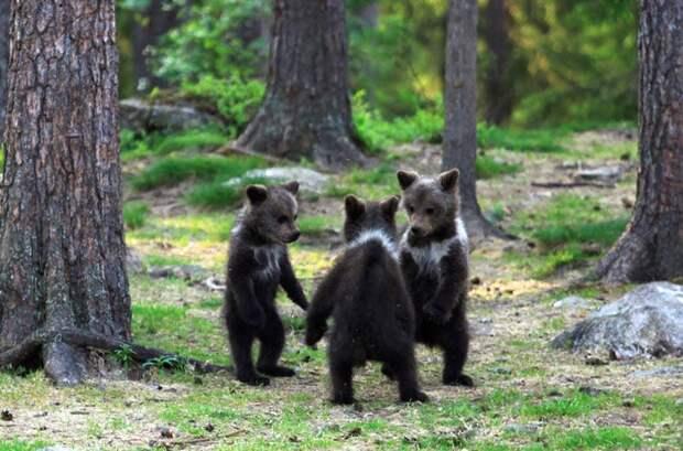 медвежата на поляне