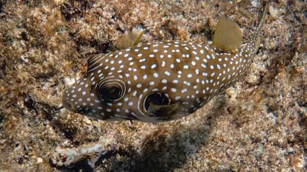 Пляжи турецких курортов атаковали ядовитые рыбы фугу