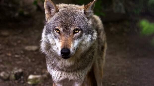 В Крыму троих человек покусал волк