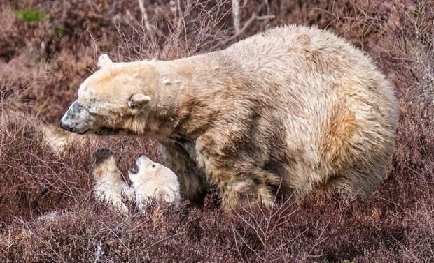 Специалисты определили пол медвежонка, рождения которого Великобритания ждала 25 лет