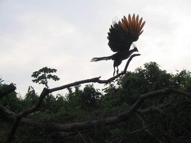 Гоацин: Самая вонючая и отвратительная птица