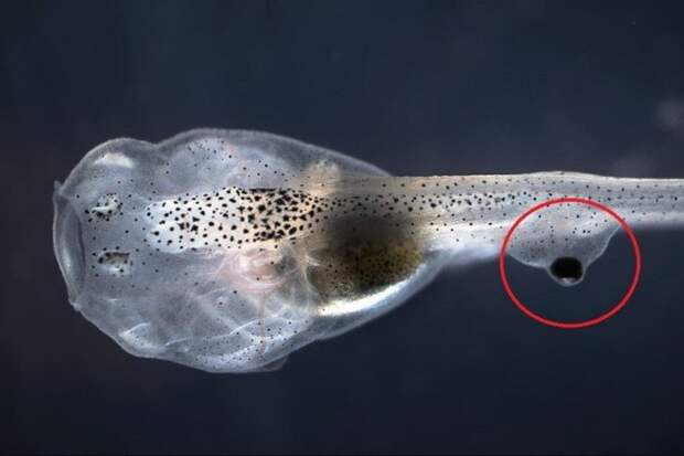 Ксенопус: Голенькая лягушка, геном которой мистическим образом слишком человеческий