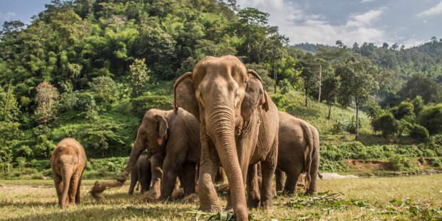 Ученые выяснили, почему африканские слоны стали рождаться без бивней