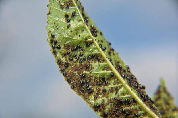 Лист вишни, облепленный тлёй