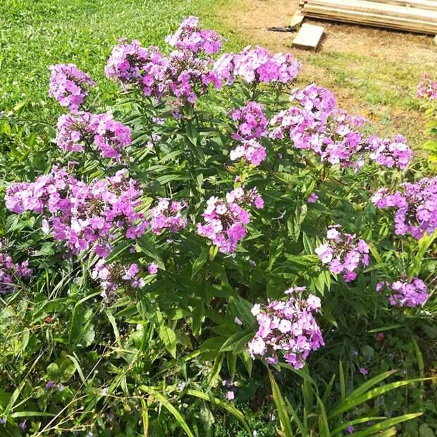 Многолетний садовый цветок Флокс (Phlox)