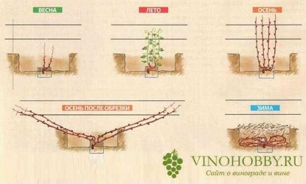 При какой температуре обычно укрывают виноград на зиму